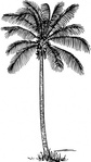 coconut,palm,nature,plant,tree,exotic,biology,botany,line art,black and white,contour,outline,media,clip art,externalsource,public domain,image,png,svg,wikimedia common,psf,wikimedia common,wikimedia common,wikimedia common