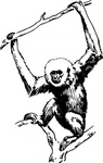 animal,mammal,ape,gibbon,biology,zoology,line,art,black and white,contour,outline,media,clip art,externalsource,public domain,image,png,svg,wikimedia common,psf,wikimedia common,wikimedia common,wikimedia common