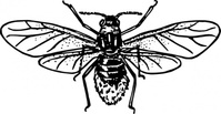 aphid,animal,insect,biology,zoology,entomology,line art,black and white,contour,outline,media,clip art,externalsource,public domain,image,png,svg,wikimedia common,psf,wikimedia common,wikimedia common,wikimedia common