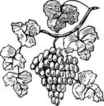 grape,plant,fruit,vine,food,media,clip art,externalsource,public domain,image,png,svg,grape,grape,grape,grape