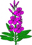 epilobium,angustifolium,nature,plant,flower,herb,purple,outline,fireweed,externalsource
