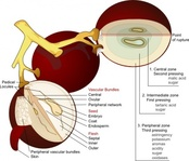 wine,grape,diagram