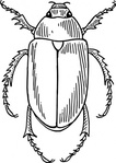 beetle,animal,insect,bug,biology,zoology,entomology,line art,black and white,conotur,outline,media,clip art,externalsource,public domain,image,png,svg,wikimedia common,psf,wikimedia common,wikimedia common,wikimedia common