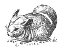 unchecked,animal,mammal,chinchilla,biology,zoology,outline,line art,grayscale,media,clip art,externalsource,public domain,image,svg,wikimedia common,psf,wikimedia common