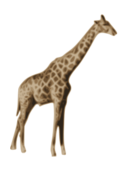 colour,geraffe,animal,nature,jirafa,giraffe